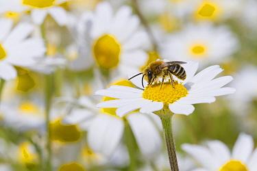 Bare-saddled Plasterer Bee (Colletes similis) adult male, feeding on Stinking Chamomile (Anthemis cotula) flowers, Causse de Gramat, Massif Central, Lot Region, France, May