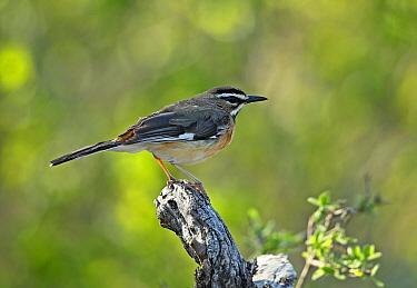 Eastern Bearded Scrub-robin (Erythropygia quadrivirgata quadrivirgata) adult, perched on dead tree stump, Kruger N.P., Great Limpopo Transfrontier Park, South Africa, November
