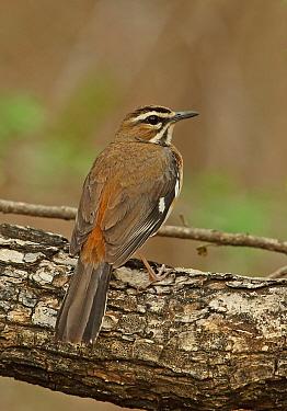 Eastern Bearded Scrub-robin (Erythropygia quadrivirgata quadrivirgata) adult, perched on branch, Kruger N.P., Great Limpopo Transfrontier Park, South Africa, November
