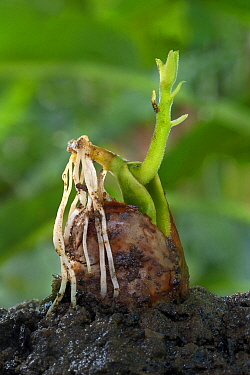Chempedak (Artocarpus integrifolia) germinating seed with sprouting shoot and roots, Trivandrum, Thiruvananthapuram District, Kerala, India, July