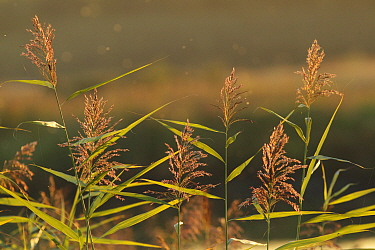 Common Reed (Phragmites australis) seedheads, backllit by evening light, on site of former opencast coal mine, St. Aidans RSPB Reserve, West Yorkshire, England, October