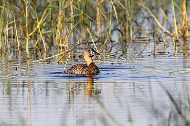 White-backed Duck (Thalassornis leuconotus) adult, swimming, Lake Awassa, Ethiopia, December