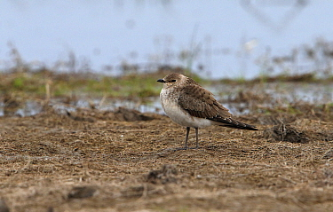 Black-winged Pratincole (Glareola nordmanni) juvenile, standing on dried mud, Korgalzhyn, Kazakhstan, September