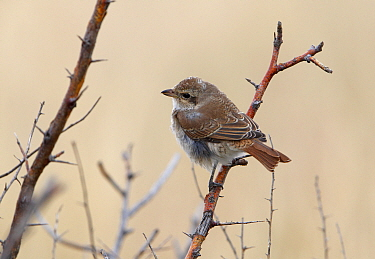 Red-backed Shrike (Lanius collurio) immature, first winter plumage, perched on twig, Korgalzhyn, Kazakhstan, September