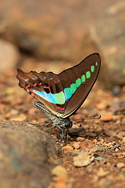Common Bluebottle (Graphium sarpedon) adult, drinking minerals from soil, Goa, India, November