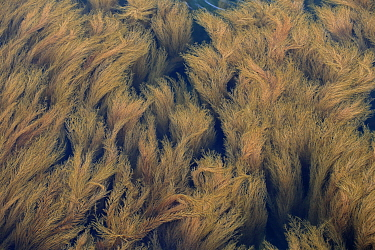 Japanese Wireweed (Sargassum muticum) introduced invasive species, in shallow water, Isle of Wight, England, August