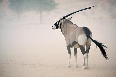 Gemsbok (Oryx gazella) adult, standing in duststorm, Kalahari Gemsbok N.P., Kgalagadi Transfrontier Park, Northern Cape, South Africa, December