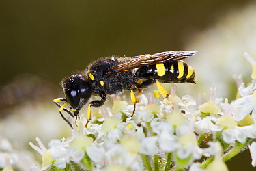 Mason Wasp (Ectemnius continuus) adult female, feeding on Hogweed (Heracleum sphondylium) flowers, Powys, Wales, August