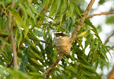 White-browed Fantail (Rhipidura aureola) adult, sitting on nest, Yala N.P., Sri Lanka, March