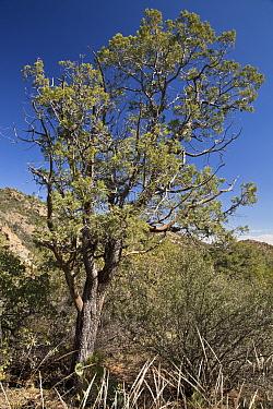 Alligator Juniper (Juniperus deppeana) habit, growing in desert, Chisos Mountains, Big Bend N.P., Chihuahuan Desert, Texas, U.S.A., February