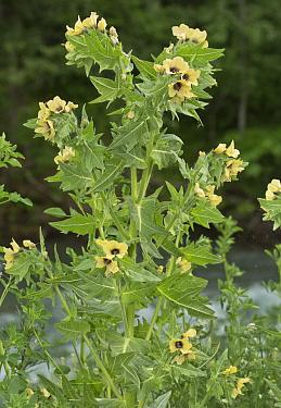 Henbane (Hyoscyamus niger) flowering, Alps, France, June