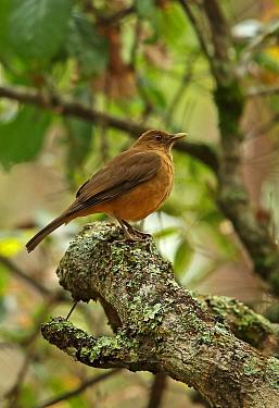 Clay-coloured Robin (Turdus grayi megas) adult, perched on branch, Picacho N.P., Honduras, February