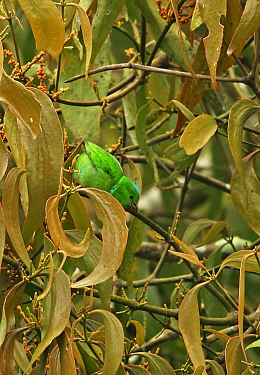 Blue-crowned Chlorophonia (Chlorophonia occipitalis) adult female, feeding on fruit in tree, Panacam Lodge, Honduras, February