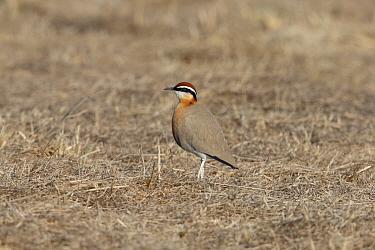 Indian Courser (Cursorius coromandelicus) adult, standing in dry grassland, Sultanpur, New Delhi, Delhi, India, February