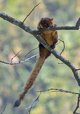 Red Giant Flying Squirrel (Petaurista petaurista) adult, resting on branch, Assam, India, March