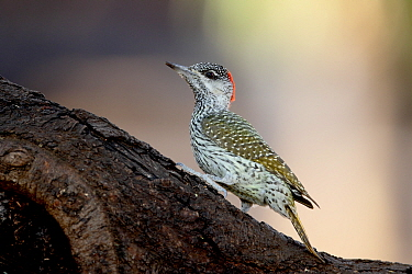 Golden-tailed Woodpecker (Campethera abingoni) adult female, standing on branch, South Africa, August