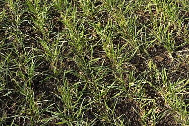 Rows of winter wheat crop with good aerial growth in late winter, Berkshire, England, February