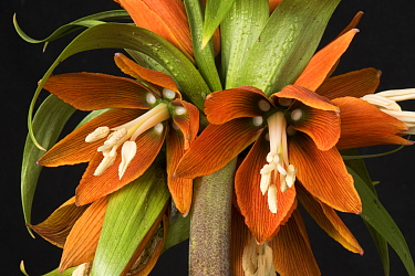 Crown Imperial, Fritillaria imperialis, close-up of flowers