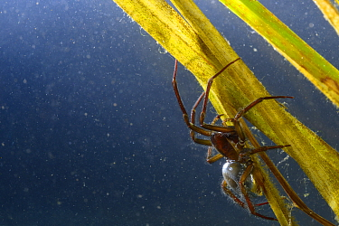Water Spider (Argyroneta aquatica) adult male, with abdominal air bubble, Tuscany, Italy, April