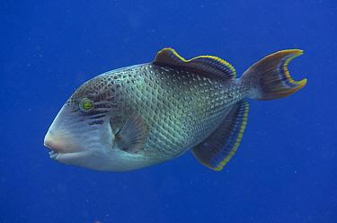 Yellowmargin Triggerfish (Pseudobalistes flavimarginatus), Mansuar Point East dive site, Yanbuba Island, Dampier Straits, Raja Ampat (4 Kings), West Papua, Indonesia