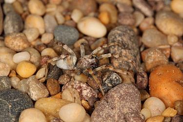 Sand Wolfspider (Arctosa perita) adult, at strandline on shingle beach, Slapton, Devon, England, May