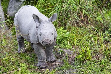Indian rhinoceros (Rhinoceros unicornis), young standing in grassland, Kaziranga National Park, Assam, India, April