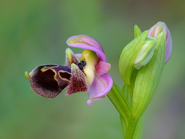 Ophrys Umbilicata Close up of flower, Cyprus, March 2015