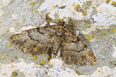 Double-striped Pug (Gymnoscelis rufifasciata) adult moth  resting on a wall. Powys, Wales. May