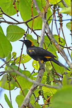 Epaulet Oriole (Icterus cayanensis) adult perched on branch  Tuneles, Colombia      November
