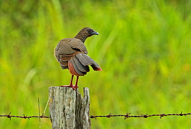 Speckled Chachalaca (Ortalis guttata guttata) adult standing on fence post  Nueva Dolima, Colombia         November