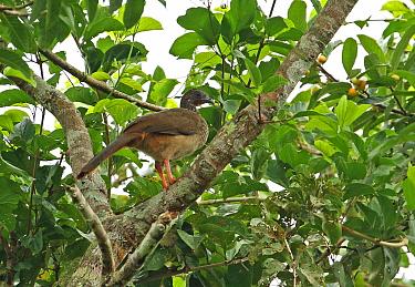 Speckled Chachalaca (Ortalis guttata guttata) adult standing on branch  San Jose del Guaviare, Colombia         November