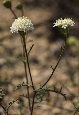 Desert Pincushion, Chaenactis stevioides in flower in spring, Joshua Tree National Park, California.