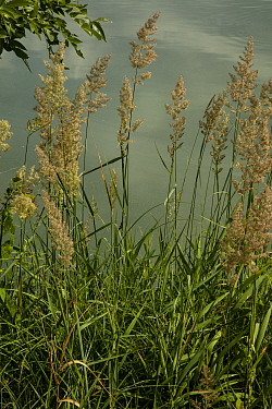 Reed canary grass, Phalaris arundinacea,  in flower by lake.