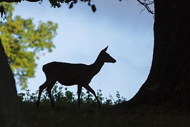 Red Deer (Cervus elaphus) hind, silhouetted under tree, Studley Royal, North Yorkshire, England, October