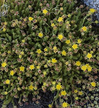 Sky mousetail, Ivesia shockleyi, in flower in high fell-fields, Dana Plateau, Sierra Nevada.