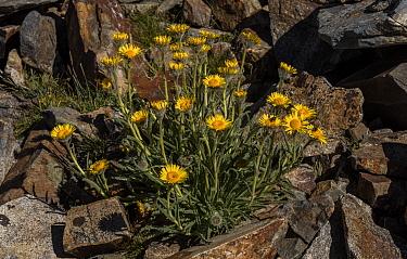 High mountain hulsea,'Hulsea algida, in flower in high altitude fell-field, Dana Plateau, Sierra Nevada.