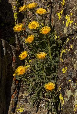 High mountain hulsea,'Hulsea algida, in flower in high altitude cliff Dana Plateau, Sierra Nevada.