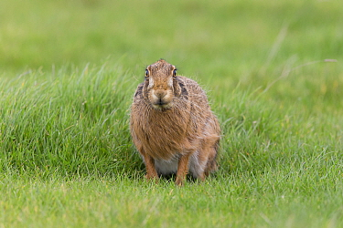 European Hare (Lepus europeaus) adult, standing in grass field, with ears held down and winter coat blowing in wind, Suffolk, England, March