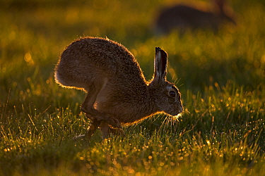 European Hare (Lepus europeaus) adult, running in grass field, backlit at sunset, Suffolk, England, March