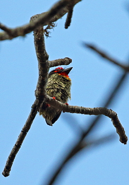 Coppersmith Barbet (Psilopogon haemacaphalus roseus) adult perched on dead twig  Bali Barat NP, Bali, Indonesia        July