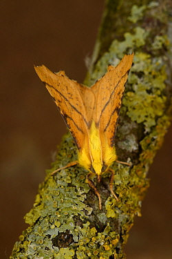 Canary-shouldered Thorn Moth (Ennomos alniaria) adult male at rest on lichen covered twig, Monmouth, Wales, August
