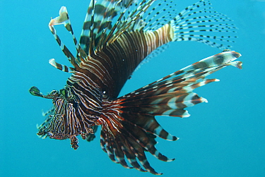Common Lionfish (Pterois volitans), Kareko Batu dive site, Lembeh Straits, Sulawesi, Indonesia
