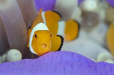 False Clown Anemonefish (Amphiprion ocellaris), with Tongue-biter Cymathoid Isopod (Cymothoa exigua) parasite on tongue in Magnificent Sea Anemone (Heteractis magnifica), Pintu Colada dive site, Lembe...