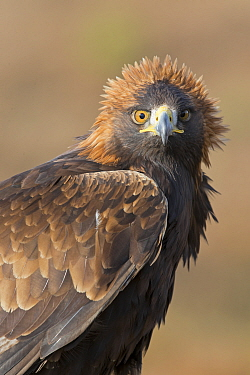 Golden Eagle (Aquila chrysaetos) adult, portrait with wind blown feathers, October, controlled subject