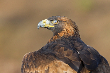 Golden Eagle (Aquila chrysaetos) adult, close up of head with closed nictitating membrane (third eyelid), October, controlled subject