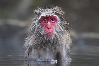 Japanese Macaque (Macaca fuscata) adult, bathing in hotspring, Jigokudani Monkey Park, Joshinetsu Kogen N.P., Yamanouchi, Nagano Prefecture, Honshu, Japan, December