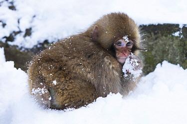 Japanese Macaque (Macaca fuscata) juvenile, in snow, Jigokudani Monkey Park, Joshinetsu Kogen N.P., Yamanouchi, Nagano Prefecture, Honshu, Japan, December