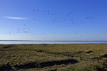 Brent Geese flying over the River Colne and salt marsh at Brightlingsea Essex.
