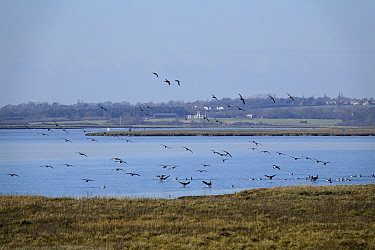 Brent Geese coming into land on the River Colne at Brightlingsea Essex.