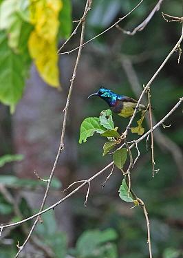 Souimanga Sunbird (Cinnyris sovimanga sovimanga) adult male perched on twig, Madagascan Endemic  Perinet, Madagascar      October